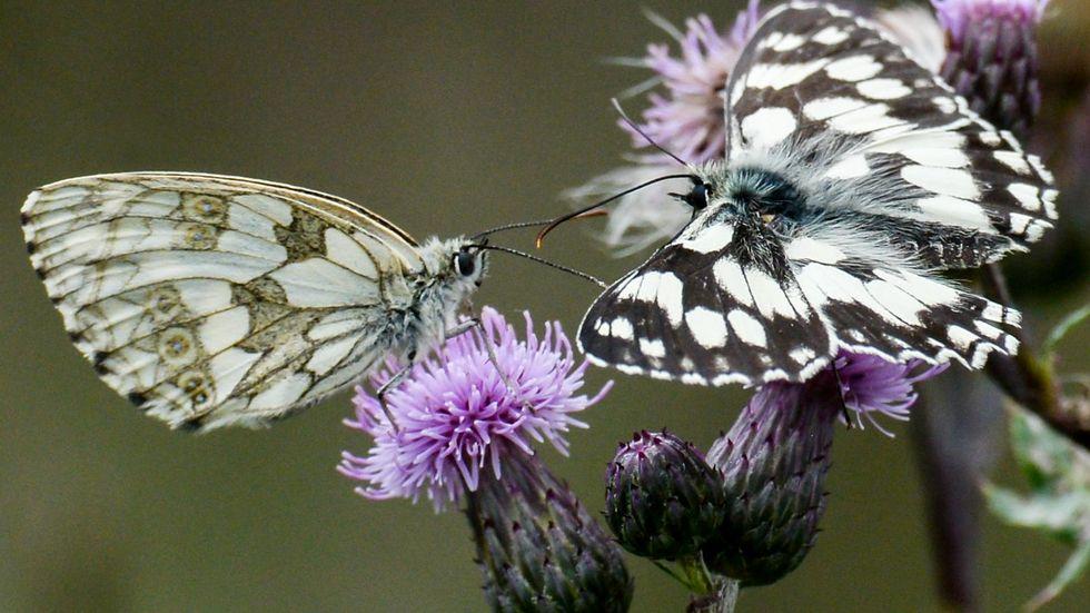 Schmetterlinge © dpa